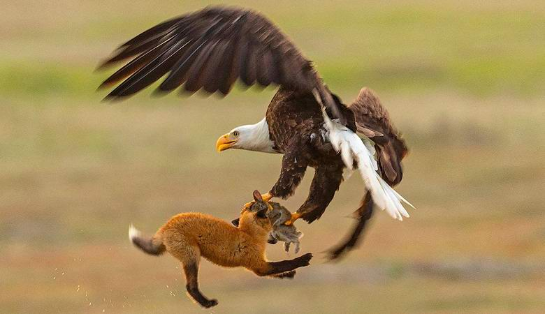 Удивительная схватка орла и лисы из-за кролика попала на видео