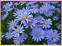 садовые цветы Фелиция голубые фото, выращивание, посадка и у…