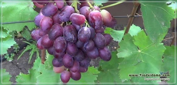 Что сделать в винограднике в сентябре месяце