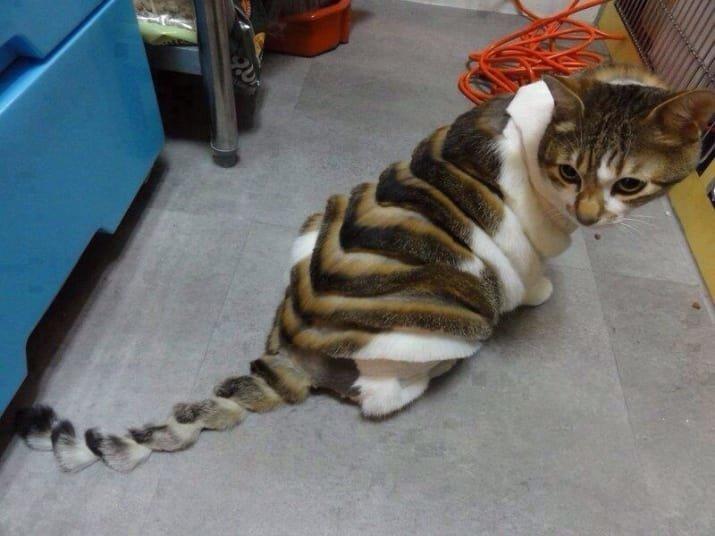 4. Странная кошачья стрижка в интернете, неожиданно, непонятно, подборка, странно, странные фото, фото