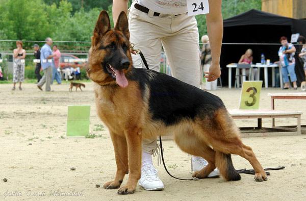 Немецкая овчарка, фото породы собаки фотография картинка