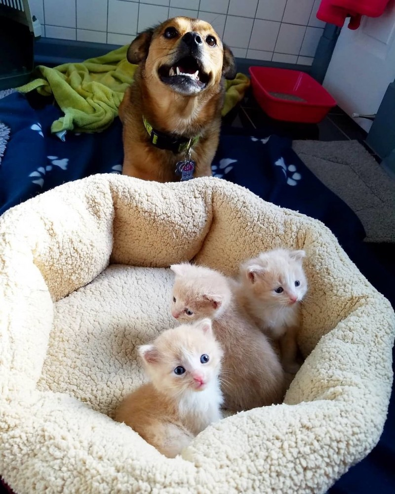"""Пес обнаружил брошенных котят и стал для них """"приемным папой"""""""