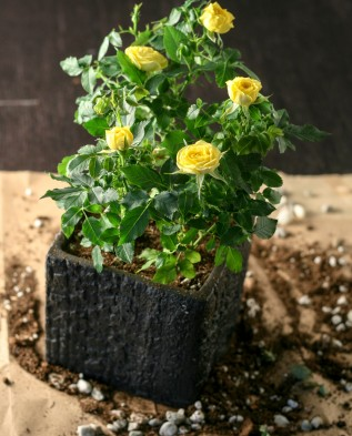 роза в новом горшке