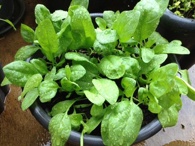 растущий в горшке шпинат