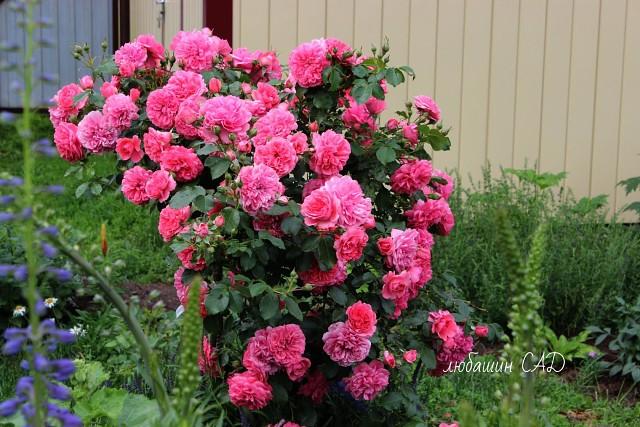 Сад весь  в цвету