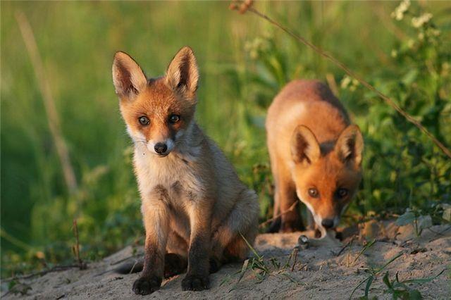 fox_20120409_00640_020 (640x426, 42Kb)