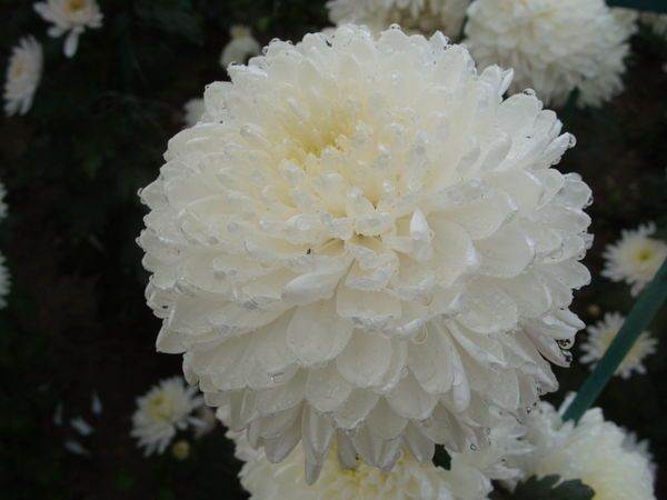 Изумительный белый сорт Zembla White