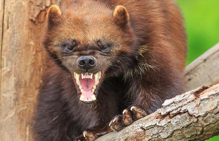 Победить или умереть! О самом агрессивном и безбашенном звере в России