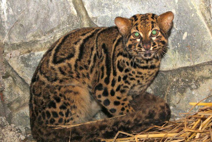 Мраморная кошка - один из редких видов диких кошачьих