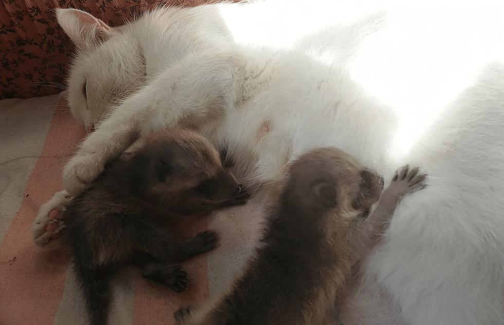 «А это точно ваши дети?» Кошка воспитывает малышей-енотов!