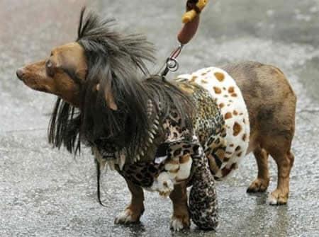 """4. """"Hair Metal 80-х будет жить вечно!"""" Животные без шерсти, бедные животные, груминг, нелепость, подстригли, стрижка собак, стрижки, хозяева животные"""