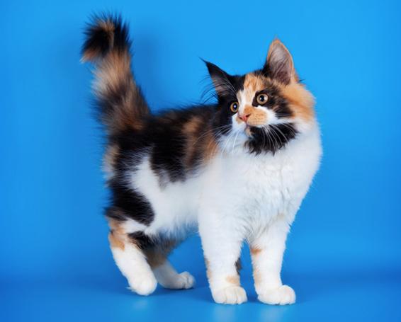 КОШКИН ДОМ. Почему кошки машут хвостом?