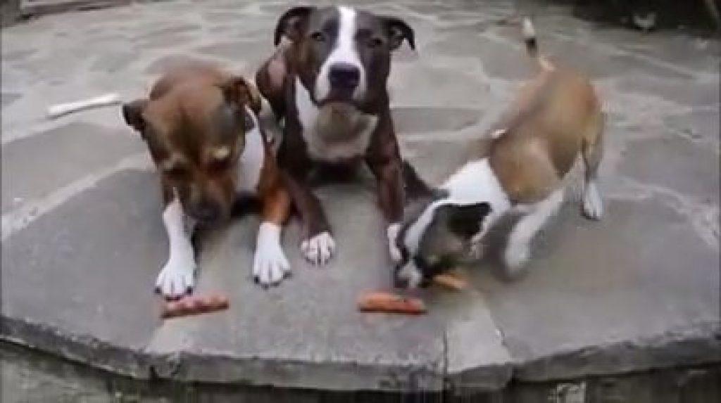 Три собаки ждали своей очереди, чтобы съесть сосиски...