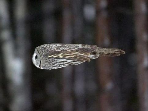 Полет совы