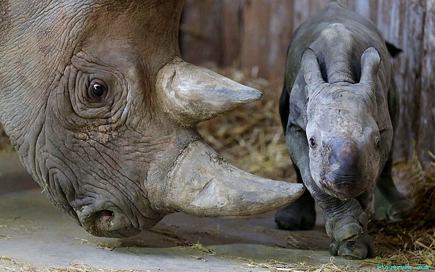 17-летняя самка чёрного носорога Китани родила малышку в зоопарке Честера.