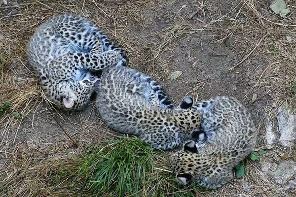 Котятам леопарда в националь…
