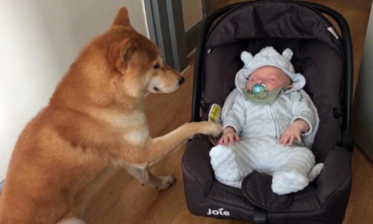 Чтобы стать идеальной нянькой для младенца, пес выучил множество полезных трюков