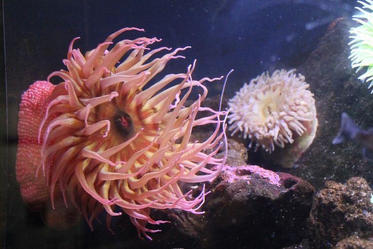 Морской анемон