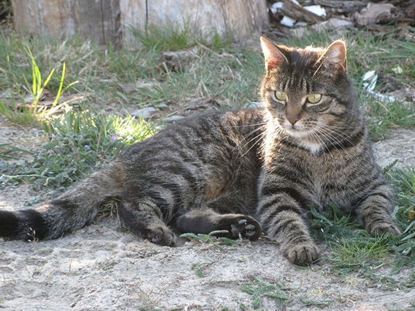 Откуда появились домашние кошки?