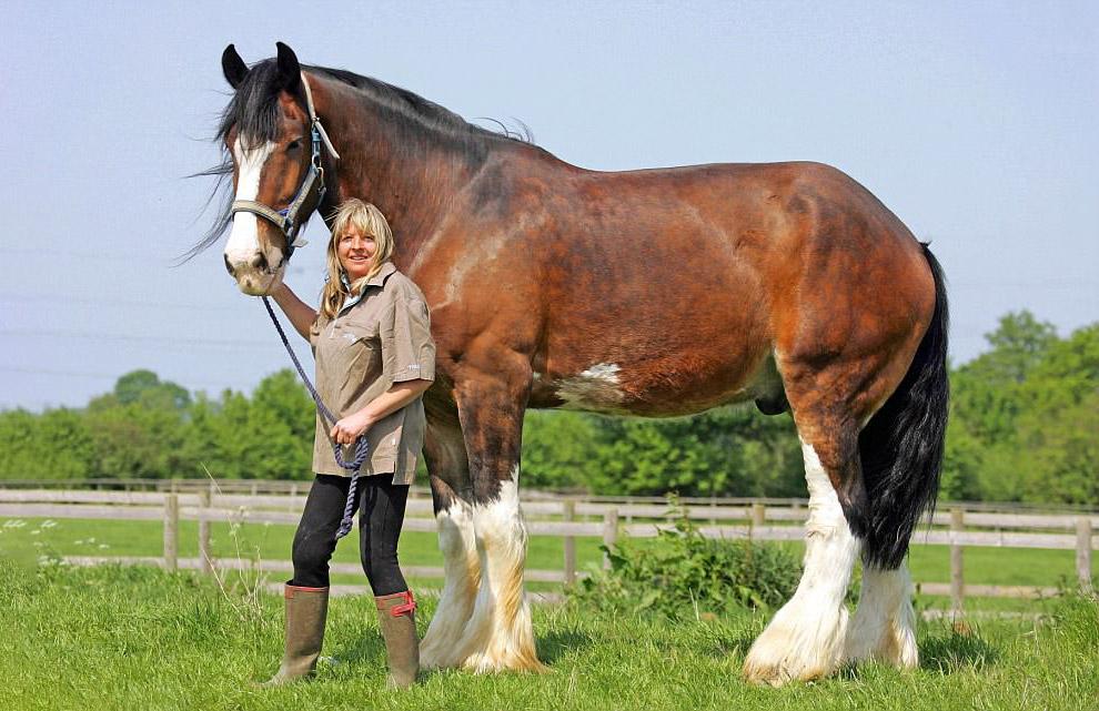 А это самая большая лошадь в Британии