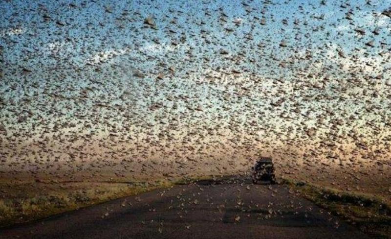 Облако закрыло небо: нашествие саранчи в Дагестане, Крыму и других регионах