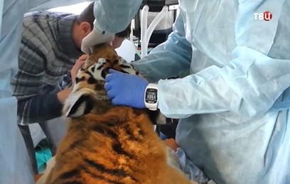 В Приморье готовят к сложной операции самку амурского тигра