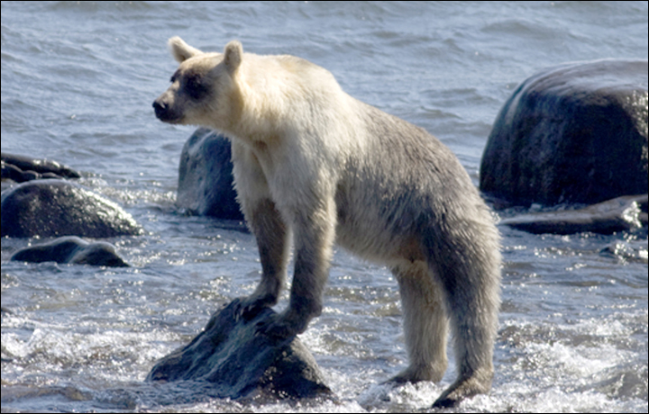 На острове Кунашир заметили необычного бело-бурого медведя