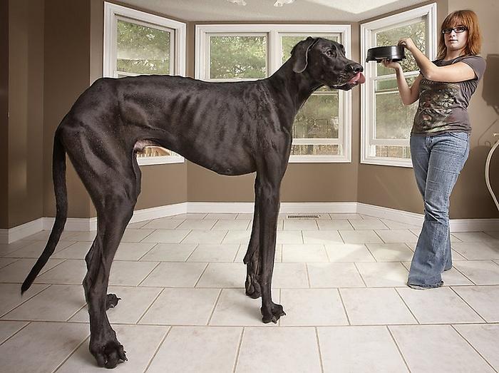 Дог Зевс - самая большая собака в мире
