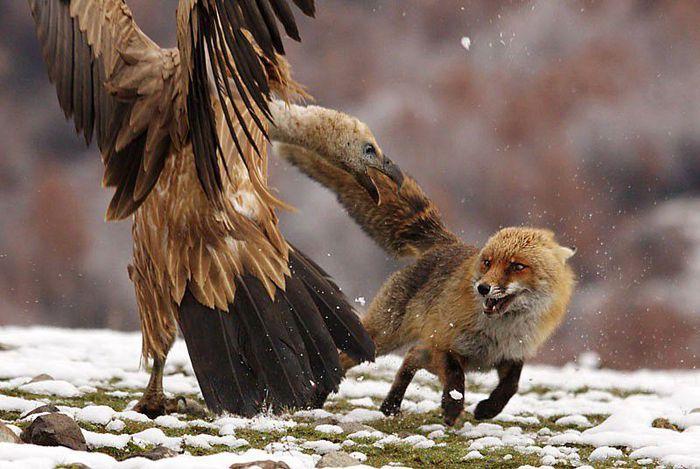 fox_20120409_00640_032 (700x500, 67Kb)