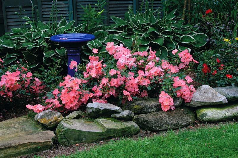Карликовые розы в ландшафтном дизайне