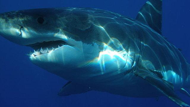 Самый титулованный пловец в истории не смог обогнать белую акулу