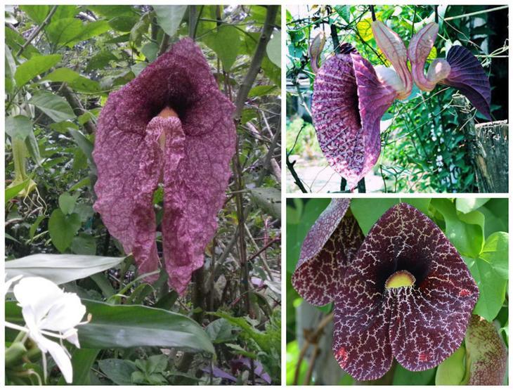Трубы голландца (Dutchman's Pipe Vine) красота, особенные, природа, растения, флора, цветы