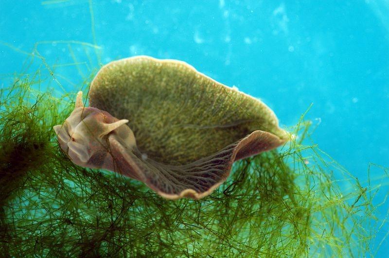 Удивительный Elysia chlorotica