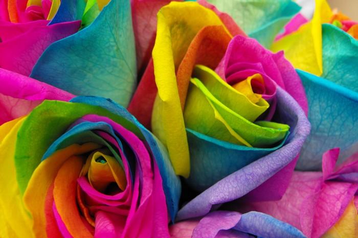 Как вырастить разноцветную розу