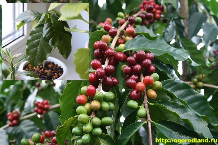 Как вырастить кофейное дерево у себя дома
