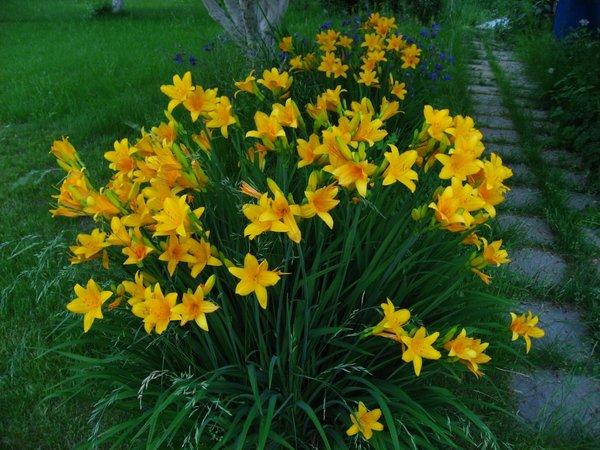Чудо-средство для роста лилейников..