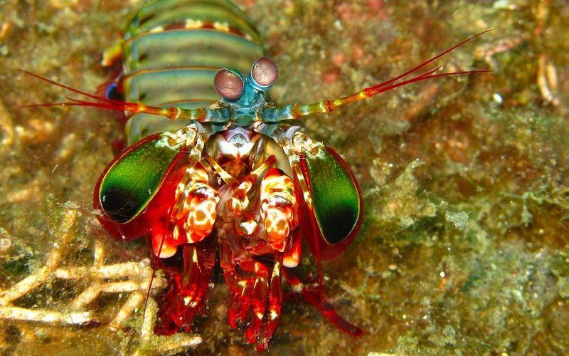 креветка, под водой, море, океан, икра, карал
