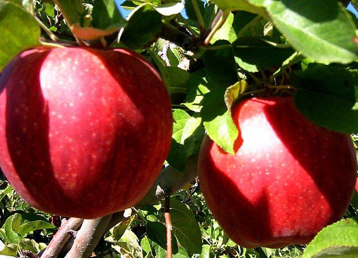 Самые дорогие яблоки в мире