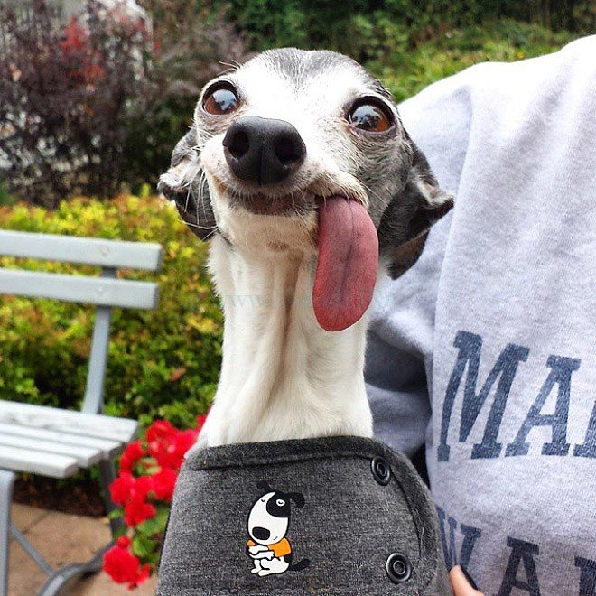 Люди не могут перестать смешно фотошопить эту собаку с огромным языком