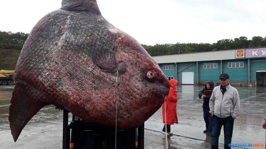 Рыба -луна весом в 1100 килограмм была выловлена на Курилах и скормлена медведям