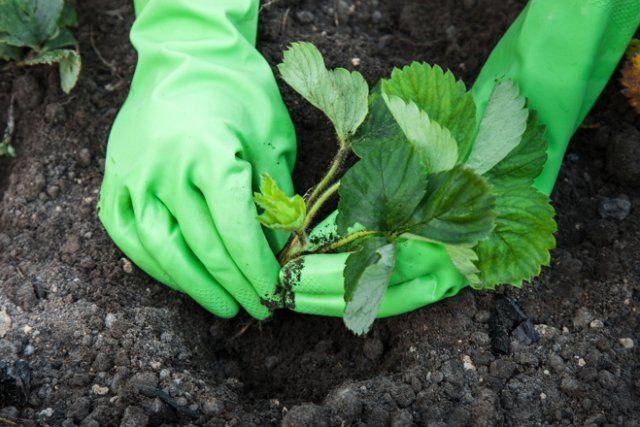 Правильно посаженная клубника обязательно порадует богатым урожаем