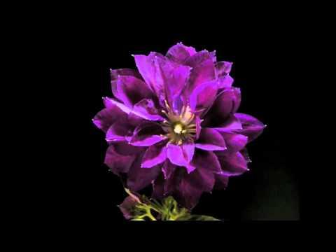 Как распускаются цветы