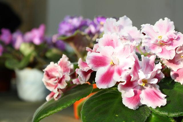 растение сенполия