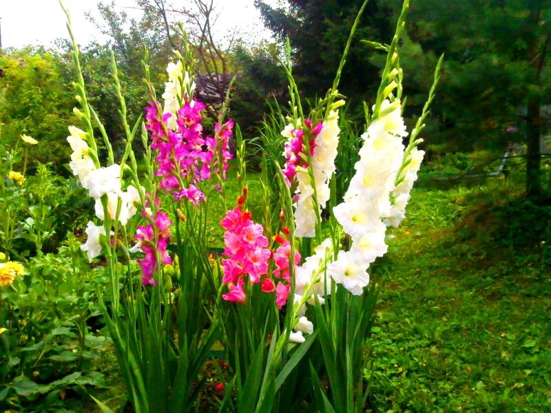 Как вырастить красивые гладиолусы - секреты посадки