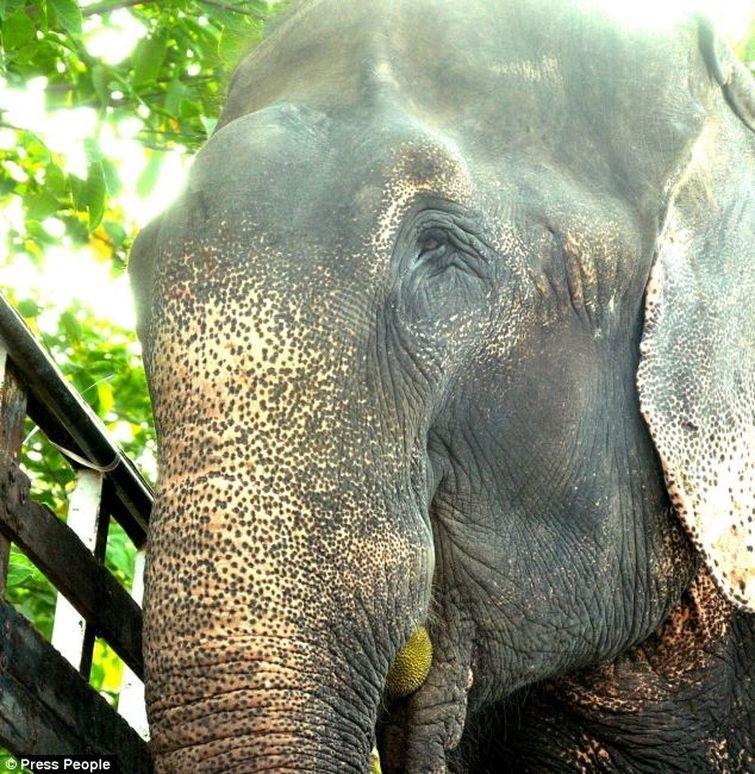Radga14 Спасение слона, проведшего 50 лет в неволе, который плакал от счастья