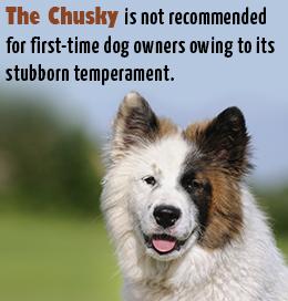 Chow Chow Siberian Husky Mix Breed Information