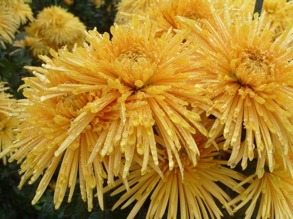 Хризантема сорт Dalystar Yellow