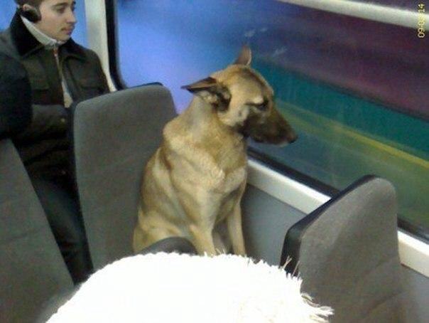 Собака из трамвая