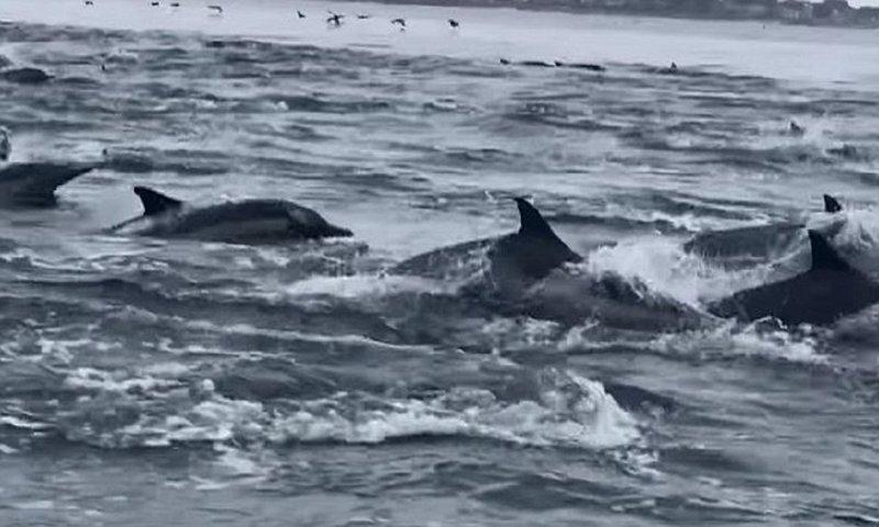 Гигантская стая дельфинов оживила океан