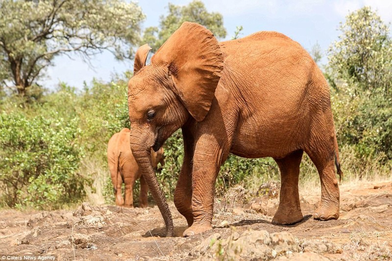 """""""Мбегу - маленькое сокровище, она очень игрива, и, учитывая ее нежный возраст, она быстро оправилась от эмоциональной травмы"""", - сказали смотрители детеныш, животные, история, кения, люди, мир, слониха, спасение"""